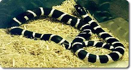 California Kingsnake(Desert Phase Banded)