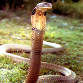 Cool Snake Quiz Simon S Snake Website